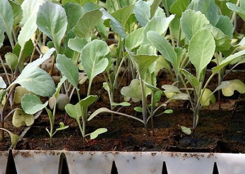 Технологія вирощування білокачанної і цвітної капусти