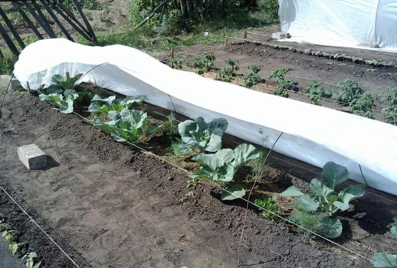 вирощування ранньої цвітної капусти