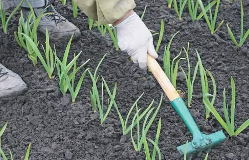 Як і коли садити часник 4