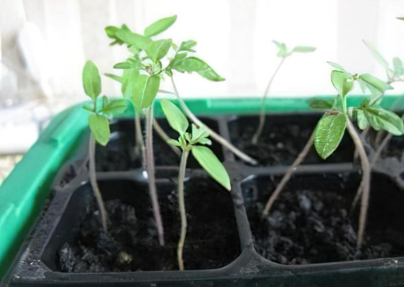 Як виростити розсаду помідор