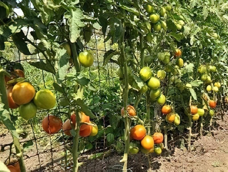 Як зробити шпалери для огірків і помідорів8