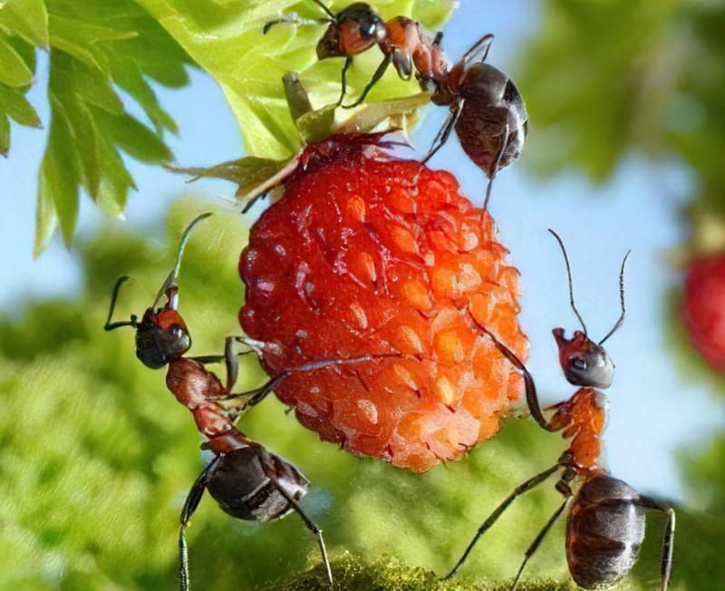 Руді мурашки, що об'їдають ягоду