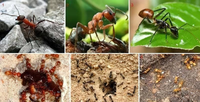 Поширені види мурах