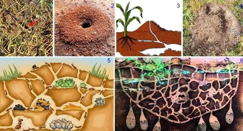 Розвиток мурашників земляних мурах