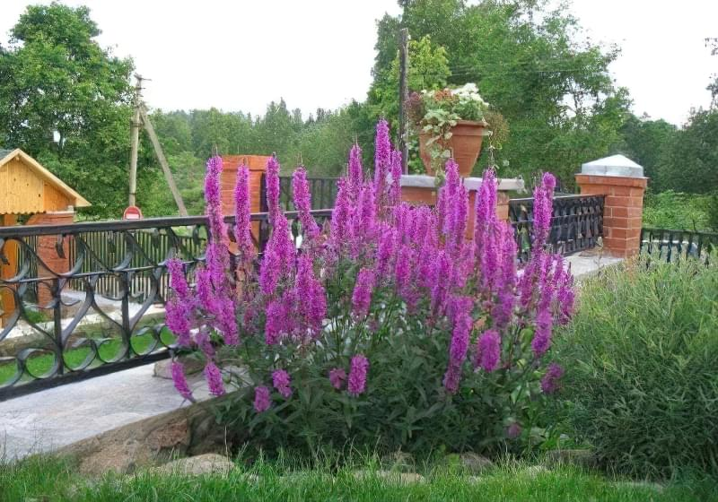 кущі для саду5.jpg12.jpg12434.jpg2342
