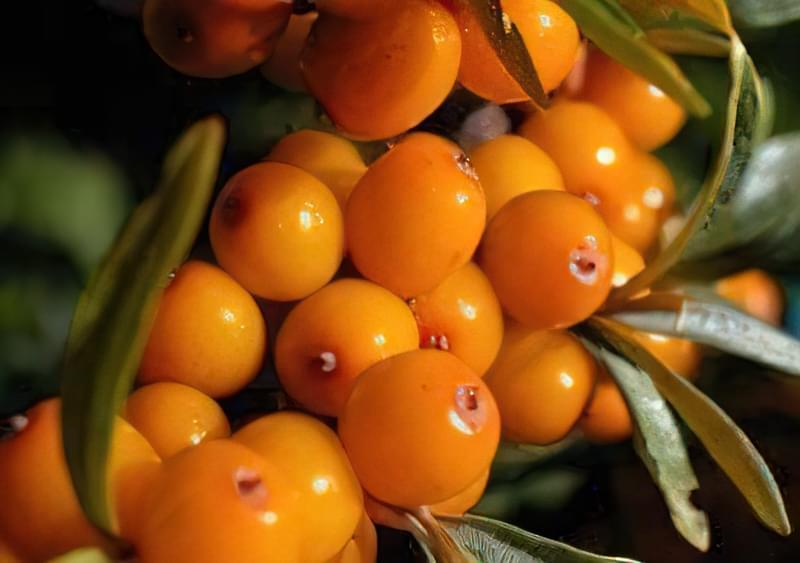 Обліпиха для вашого саду: сорти, посадка і догляд, особливості вирощування 3