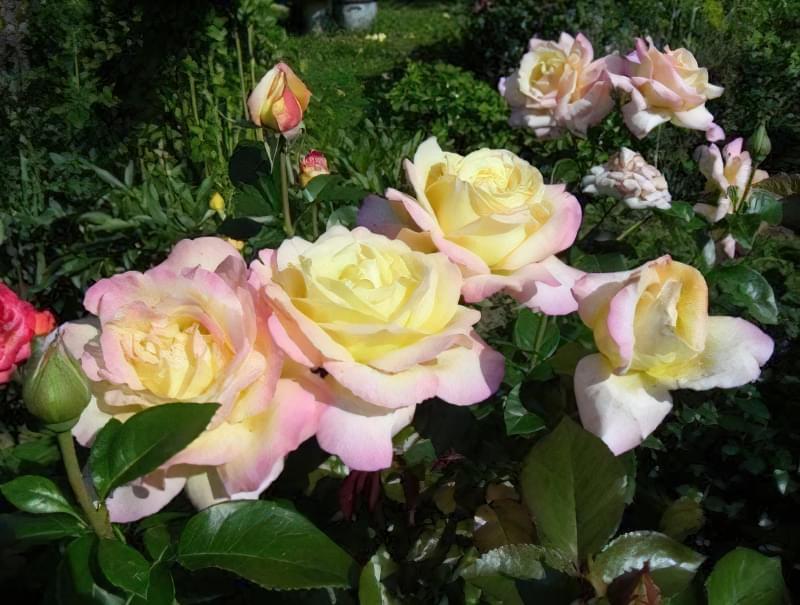Чайно-гібридна троянда, яка змінює колір