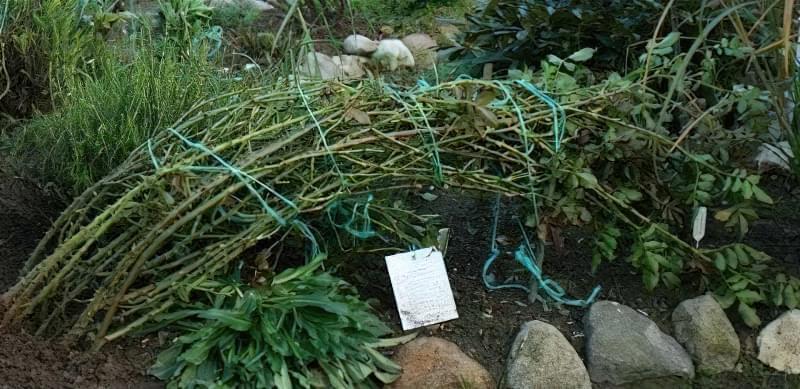 Пов'язані і пригнуті стебла плетистих роз