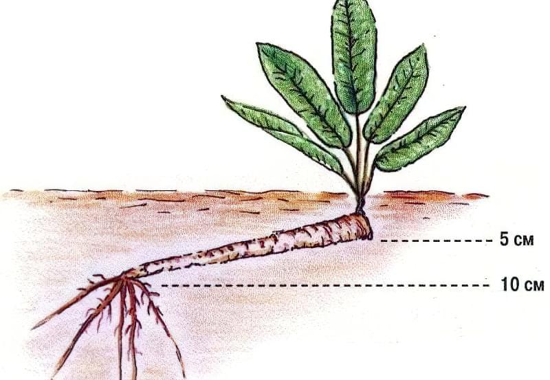 Як виглядає в землі корінь хрону