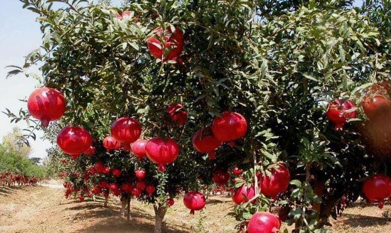 Стиглі плоди граната на дереві