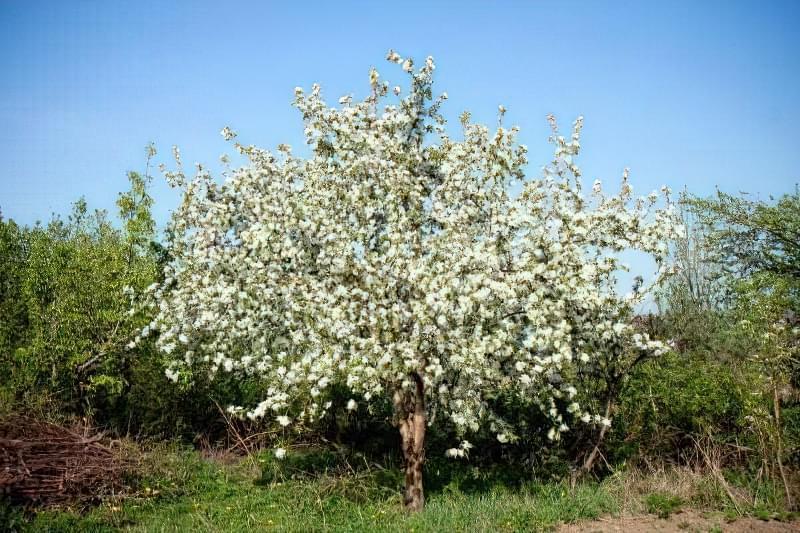 Цвітіння яблуні Зірочка навесні