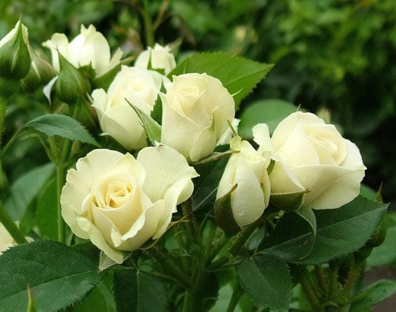 Як і чим вкривати троянди на зиму правильно? 1