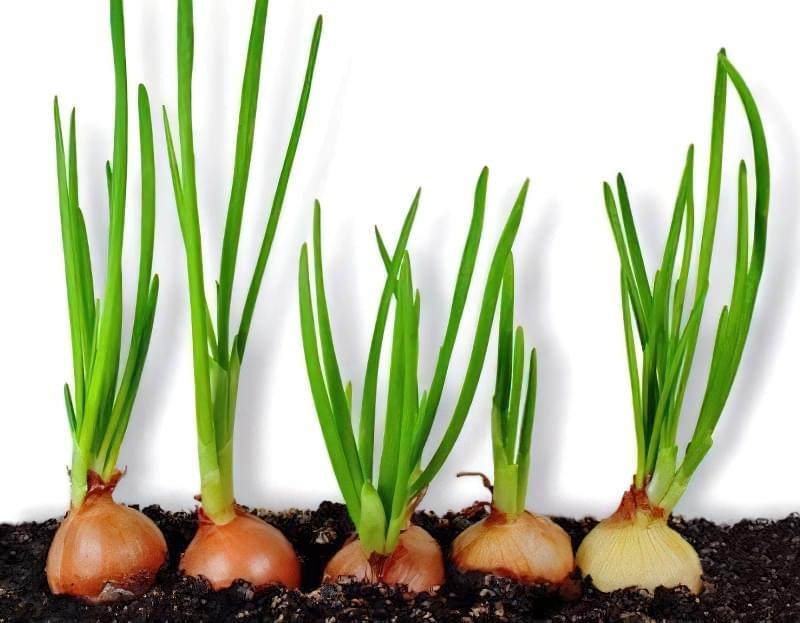 8 овочів, які можна купити один раз і вирощувати завжди 1