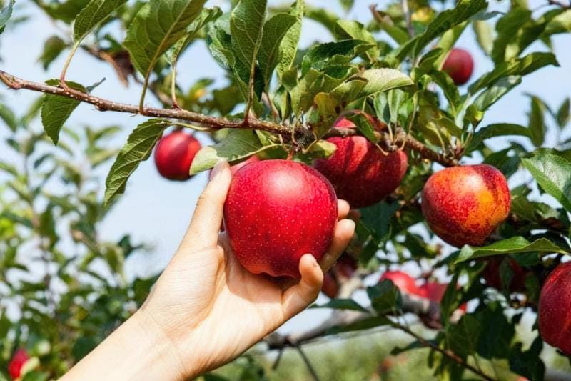 Збір урожаю яблук
