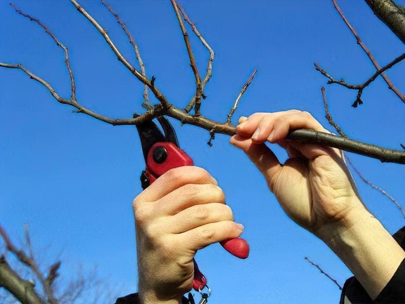 Проріджування дерева секаторам