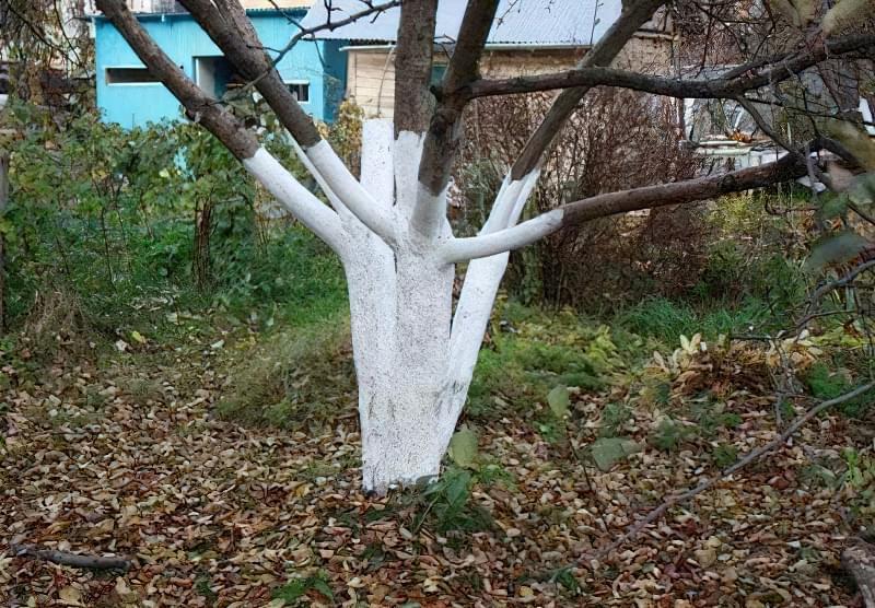 Фото стовбура дерева після побілки