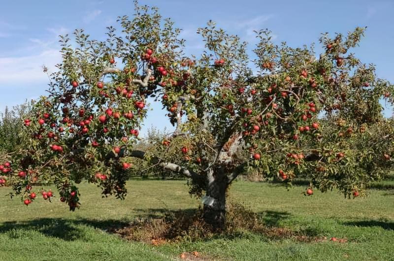 Яблуня, що росте в саду