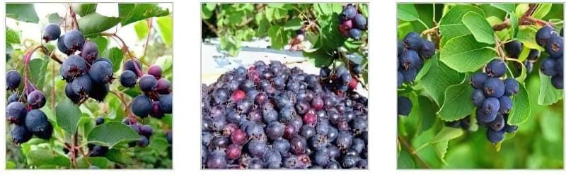 Стиглі плоди ірги на дереві Зібраний урожай плодів ірги На гілці плоди ірги