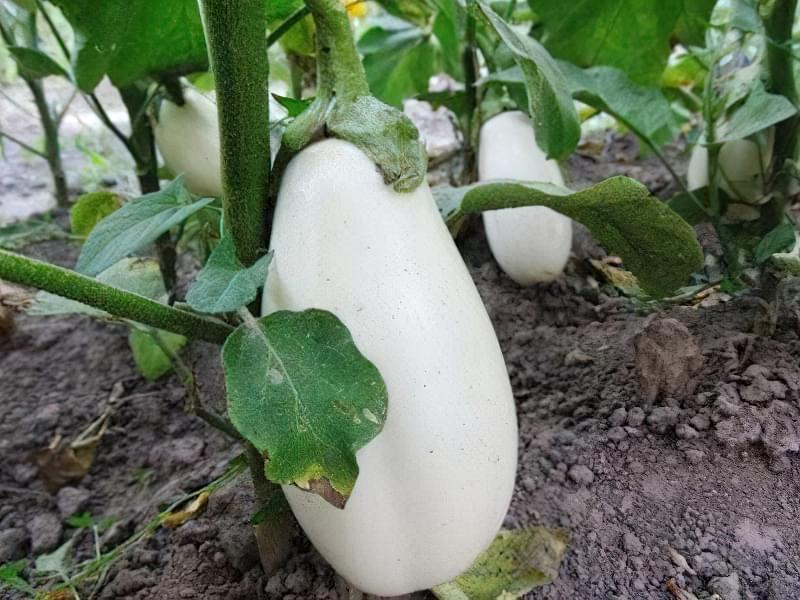 Білий баклажан, вирощений на грядці