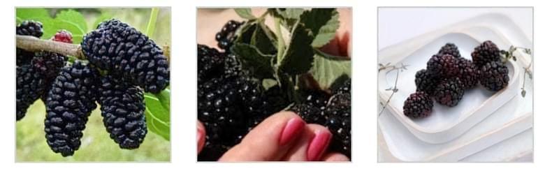 Урожай зрілої шовковиці на дереві Урожай шовковиці чорної в руках Урожай шовковиці на тарілці