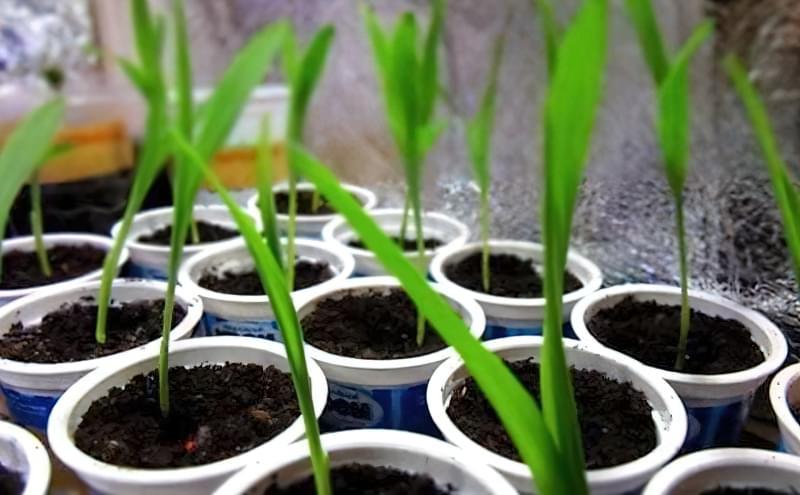 Вирощування кукурудзи у відкритому грунті 2