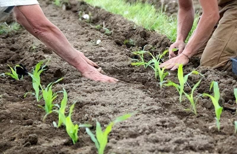 Вирощування кукурудзи у відкритому грунті 4