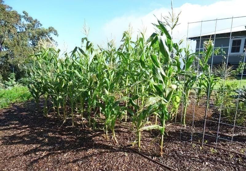 Вирощування кукурудзи у відкритому грунті 5