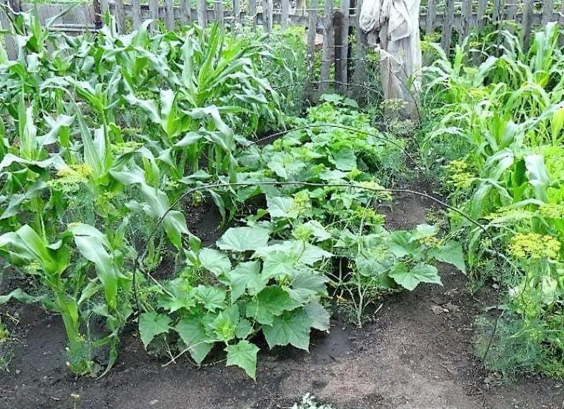Вирощування кукурудзи у відкритому грунті 6