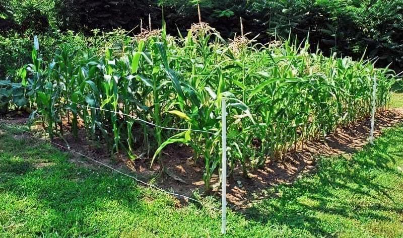 Вирощування кукурудзи у відкритому грунті 7