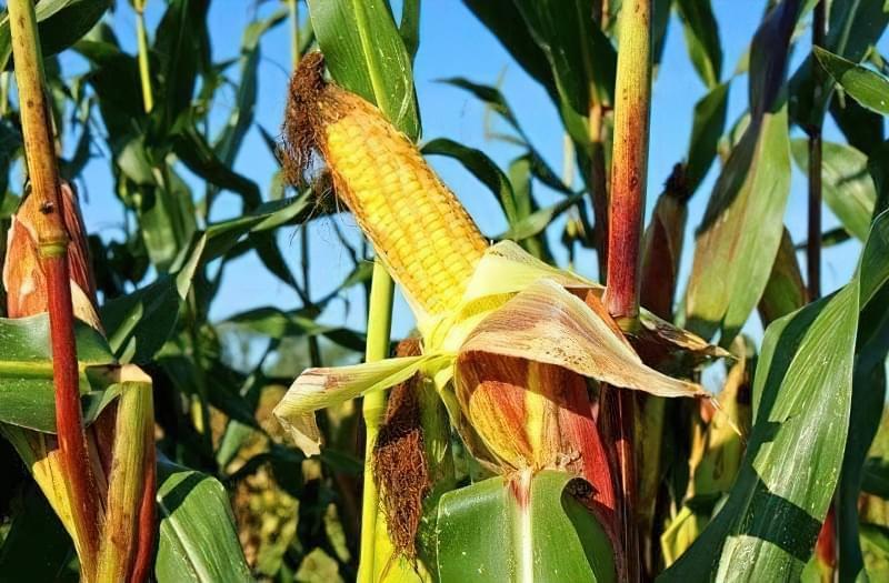Вирощування кукурудзи у відкритому грунті 1