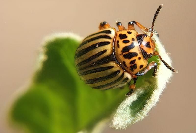 Великий жук на листку
