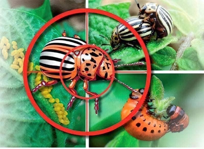 На фото жук і мішень