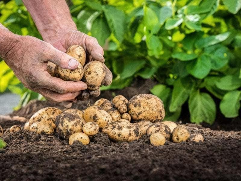 Яке добриво краще для картоплі при посадці