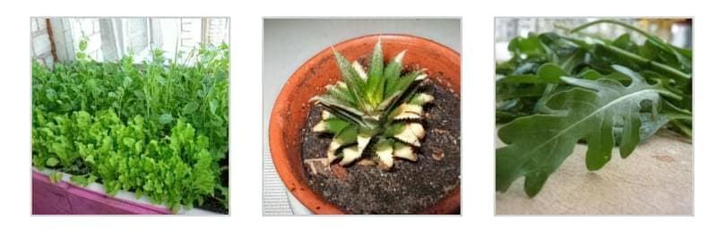 Вирощування м'яти на підвіконні Вирощування в домашніх умовах ананаса Рукколу можна вирощувати вдома