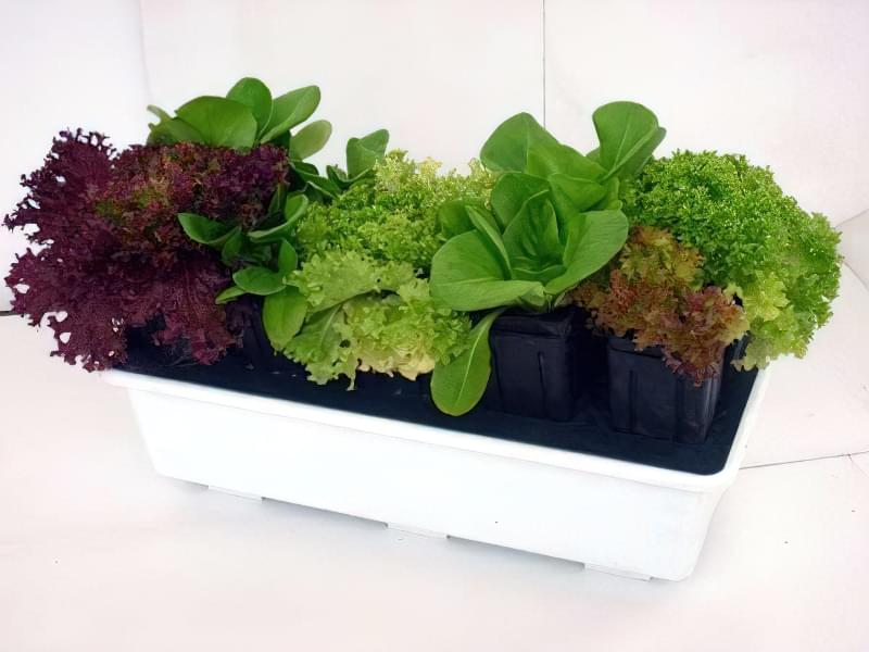 Вирощування зелені в горщиках