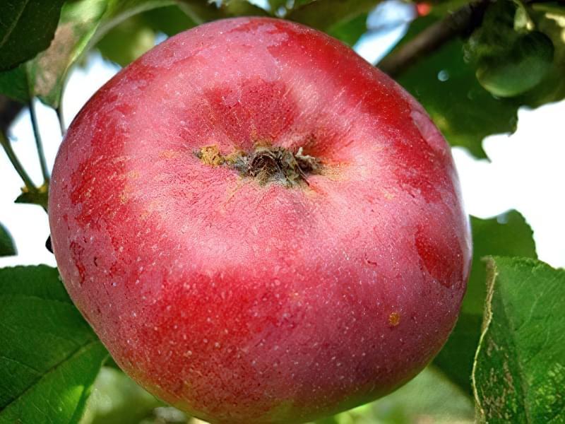 Зимове яблуко сорту Орлик