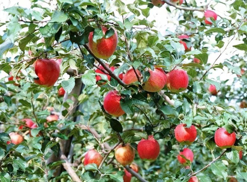 Яблука, що ростуть на дереві