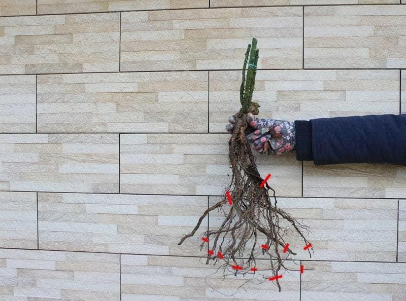 коріння саджанця троянди