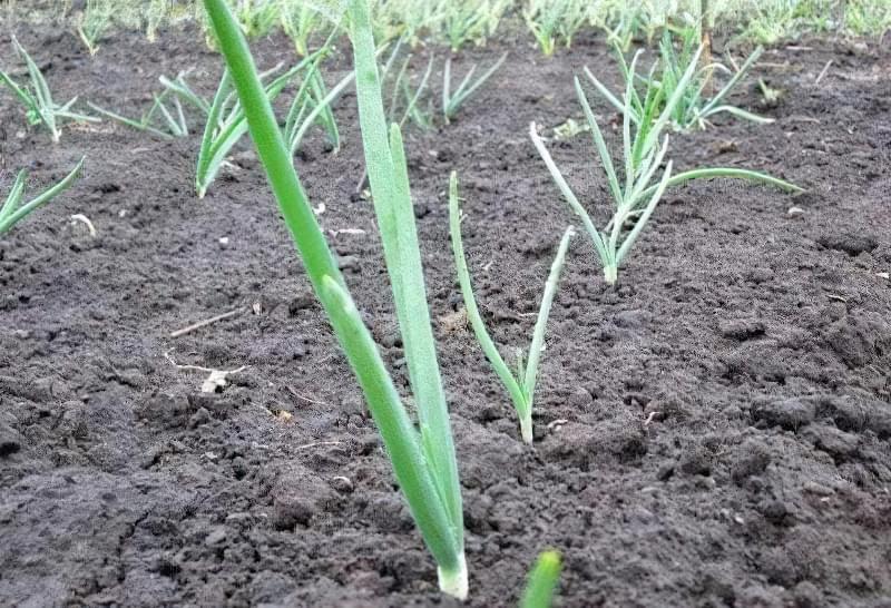 Як садити цибулю навесні: підготовка, посадка, догляд 15