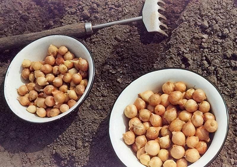 Як садити цибулю навесні: підготовка, посадка, догляд 2