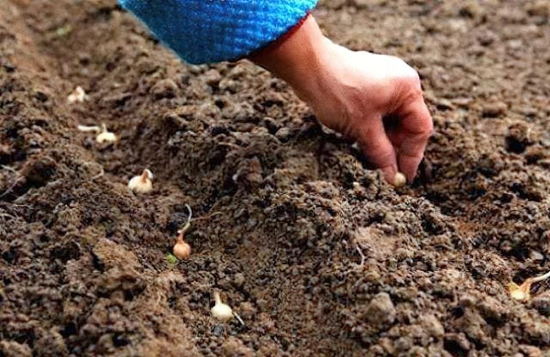 Як садити цибулю навесні: підготовка, посадка, догляд 5