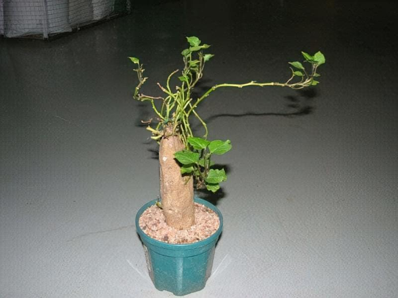 Обрізане дерево батат