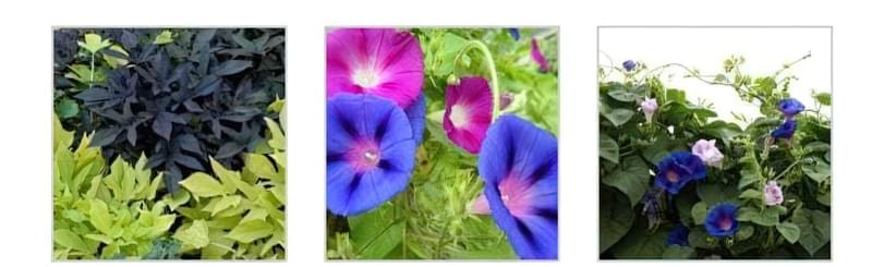 Різні види іпомеї батату Квіти рослини в саду Використання рослини в ландшафті