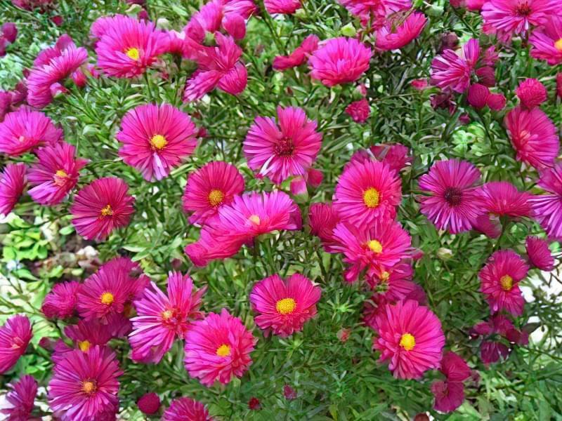 12 красивих і невибагливих рослин для саду 2