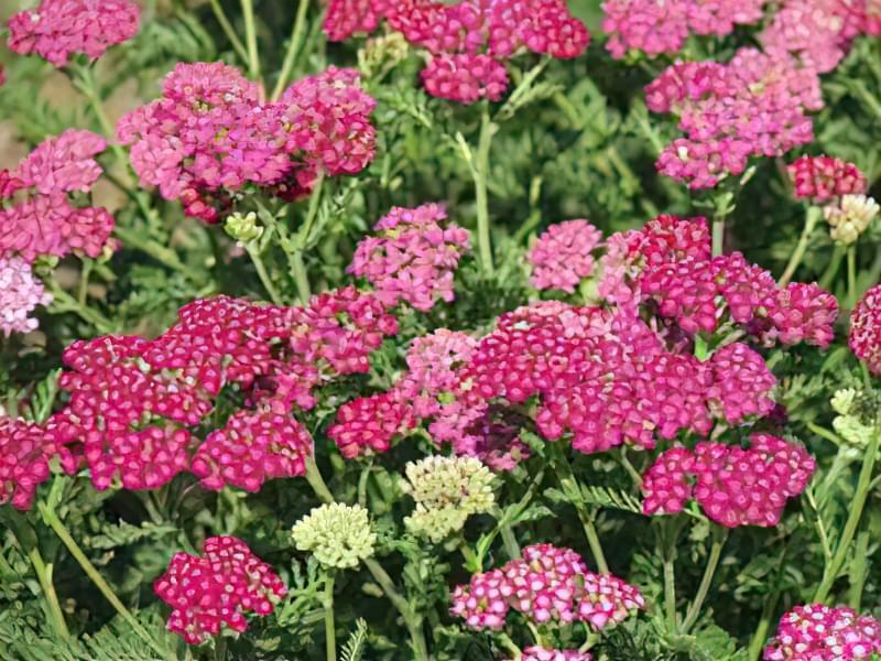 12 красивих і невибагливих рослин для саду 8