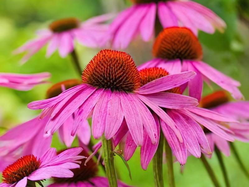 12 красивих і невибагливих рослин для саду 12