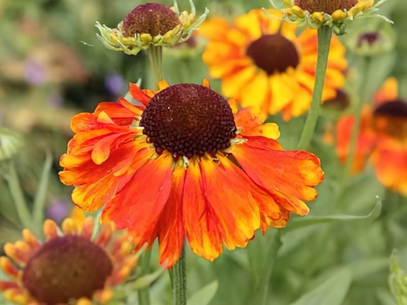 12 красивих і невибагливих рослин для саду 3