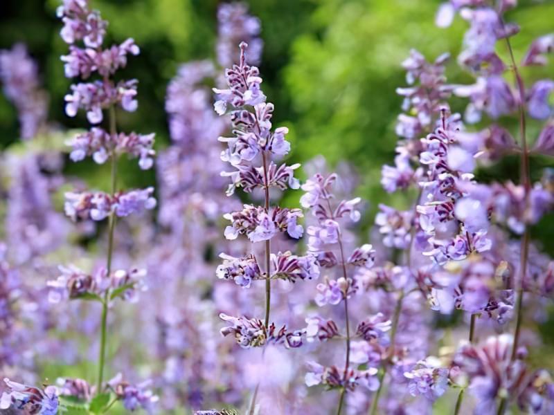 12 красивих і невибагливих рослин для саду 4