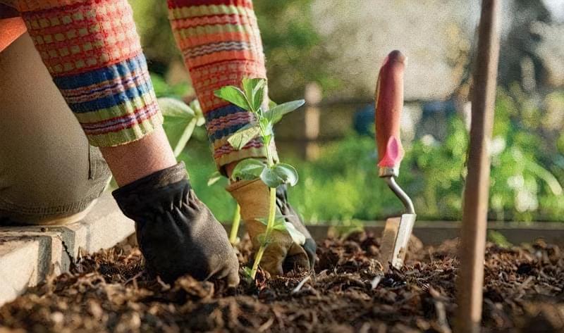 У середині серпня садівники доглядають за рослинами