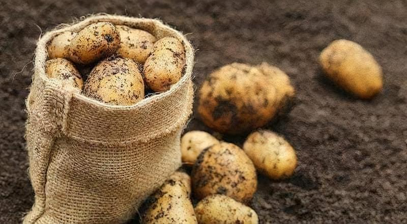20-23 серпня викопують рання картопля